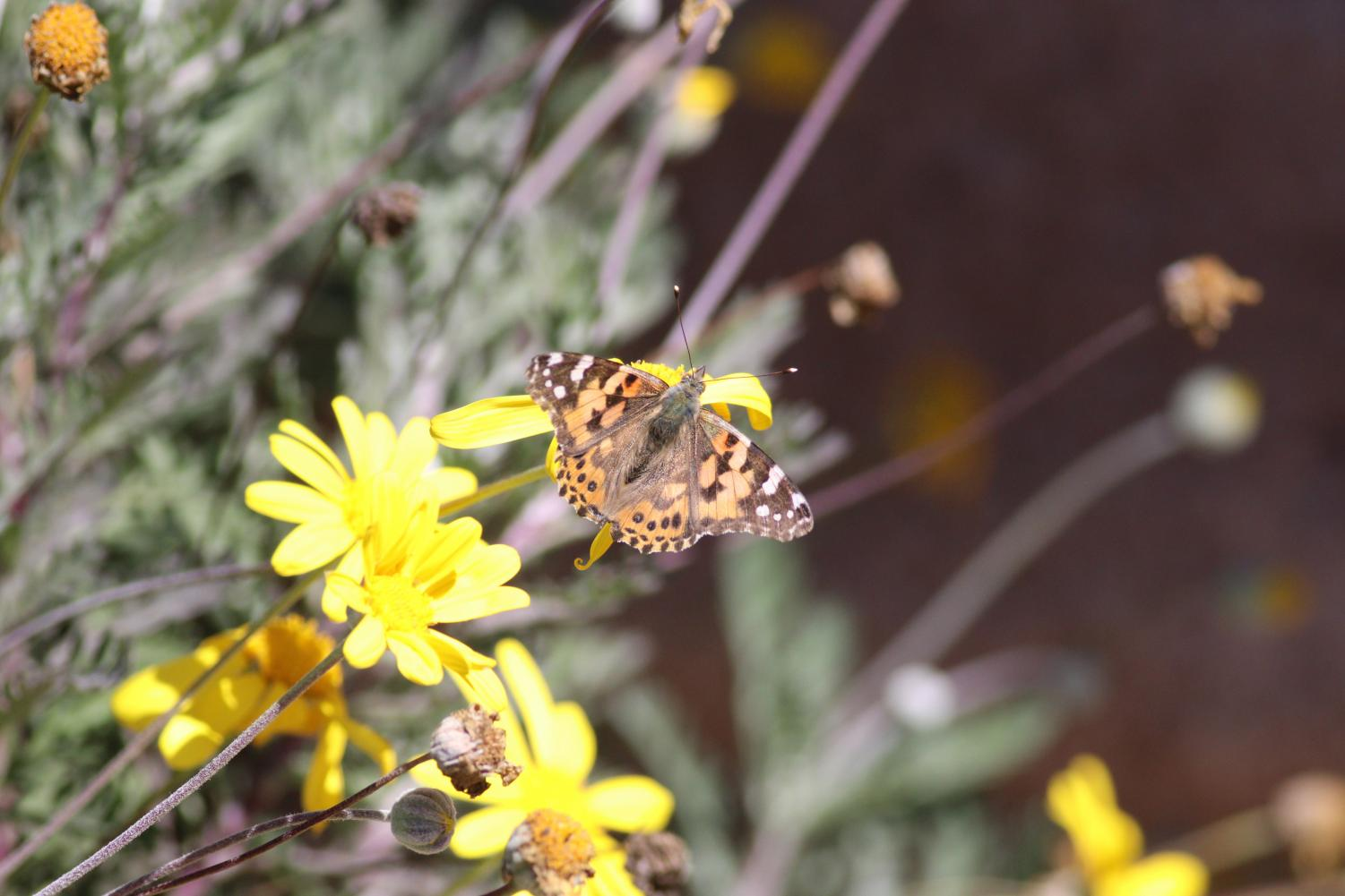 In a time where butterfly populations are dwindling, painted ladies were seen fluttering around Southern California from March 17 through the next few days, as they migrated up the coast from Mexico headed to Oregon for mating season
